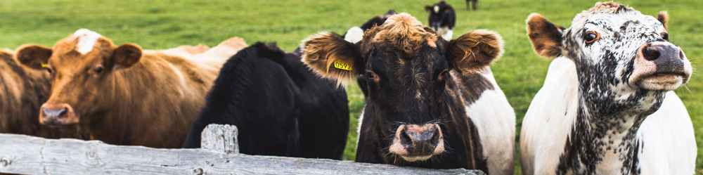 a few dairy cows saying hello to photographer at a fence