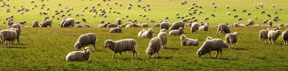 huge flock of sheep grazing at pasture