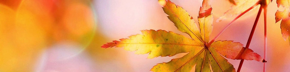 brilliant photo of fall maple leaves with pink and yellow blurred background