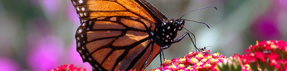 banner monarch butterfly
