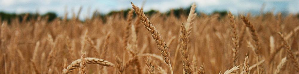 field of grain banner